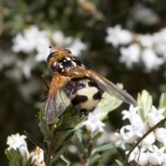 Microtropesa sp. (genus) (Tachinid fly) at Namadgi National Park - 7 Dec 2017 by JudithRoach