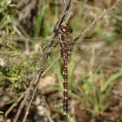 Adversaeschna brevistyla (Blue-spotted Hawker) at Jerrabomberra, ACT - 6 Dec 2017 by roymcd