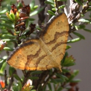 Chrysolarentia correlata at Gibraltar Pines - 3 Dec 2017