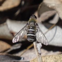 Villa sp. (genus) (Unidentified Villa bee fly) at Mount Mugga Mugga - 6 Dec 2017 by roymcd