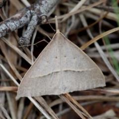 Epidesmia hypenaria (Long-nosed Epidesmia) at Gibraltar Pines - 3 Dec 2017 by HarveyPerkins