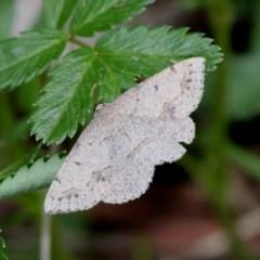 Taxeotis intextata (Looper Moth, Grey Taxeotis) at Paddys River, ACT - 3 Dec 2017 by HarveyPerkins