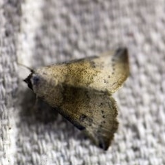 Mataeomera mesotaenia (Mini Owlet Moth) at O'Connor, ACT - 7 Dec 2017 by ibaird