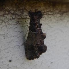 Arrade destituta (A Noctuid moth) at Flynn, ACT - 6 Dec 2017 by Christine