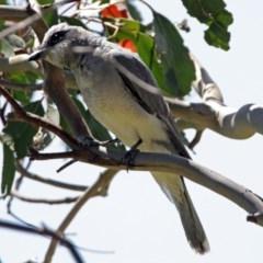 Coracina novaehollandiae (Black-faced Cuckooshrike) at Jerrabomberra Wetlands - 9 Dec 2017 by RodDeb