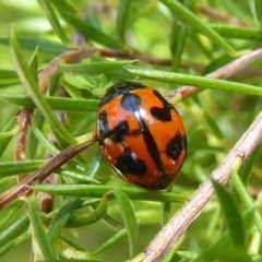 Coccinella transversalis (Transverse Ladybird) at Flynn, ACT - 7 Dec 2017 by Christine