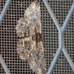 Pholodes sinistraria (Sinister Moth, Frilled Bark Moth) at Higgins, ACT - 24 Nov 2017 by Alison Milton