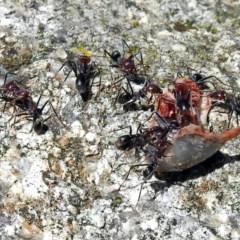 Iridomyrmex purpureus (Meat Ant) at Namadgi National Park - 6 Dec 2017 by RodDeb