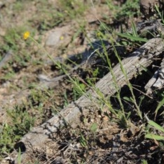 Calotis lappulacea (Yellow burr daisy) at Rob Roy Range - 28 Nov 2017 by michaelb