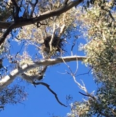 Corvus coronoides (Australian Raven) at Red Hill Nature Reserve - 10 Dec 2017 by KL