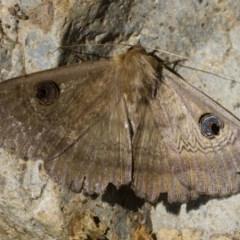 Dasypodia selenophora (Southern old lady moth) at Illilanga & Baroona - 3 Dec 2017 by Illilanga