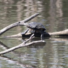 Chelodina longicollis (Eastern Long-neck Turtle) at Jerrabomberra Wetlands - 6 Dec 2017 by Alison Milton