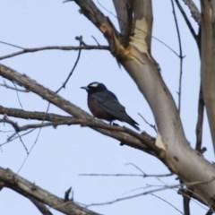 Artamus superciliosus (White-browed Woodswallow) at Illilanga & Baroona - 10 Feb 2014 by Illilanga