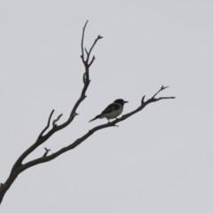 Cracticus nigrogularis (Pied Butcherbird) at Illilanga & Baroona - 6 Jan 2016 by Illilanga