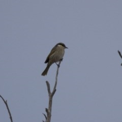 Gavicalis virescens (Singing Honeyeater) at Illilanga & Baroona - 11 May 2013 by Illilanga
