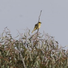 Lichenostomus melanops (Yellow-tufted Honeyeater) at Illilanga & Baroona - 1 May 2012 by Illilanga