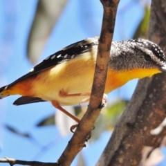 Pardalotus punctatus (Spotted Pardalote) at Paddys River, ACT - 11 Dec 2017 by JohnBundock