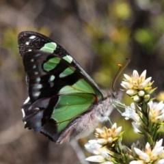 Graphium macleayanum (Macleay's Swallowtail) at Namadgi National Park - 11 Dec 2017 by HarveyPerkins