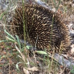 Tachyglossus aculeatus (Short-beaked Echidna) at Red Hill Nature Reserve - 31 Mar 2015 by KL