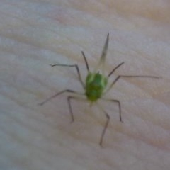 Aphididae (family) (Unidentified aphid) at ANBG - 24 Feb 2012 by Christine