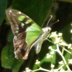 Graphium macleayanum (Macleay's Swallowtail) at ANBG - 24 Feb 2012 by Christine
