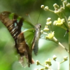 Graphium macleayanum at ANBG - 25 Feb 2012
