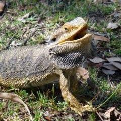 Pogona barbata (Eastern Bearded Dragon) at ANBG - 24 Feb 2012 by Christine
