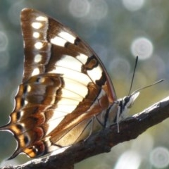 Charaxes sempronius (Tailed Emperor) at Flynn, ACT - 18 Mar 2012 by Christine