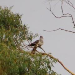 Scythrops novaehollandiae (Channel-billed Cuckoo) at Aranda, ACT - 8 Dec 2015 by KMcCue