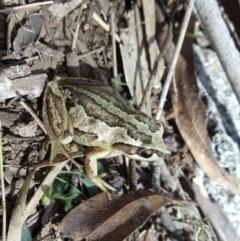 Litoria verreauxii verreauxii (Whistling Tree-frog) at Aranda Bushland - 25 Oct 2014 by KMcCue