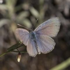 Zizina otis (Common Grass-Blue) at Michelago, NSW - 10 Dec 2017 by Illilanga