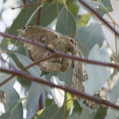 Opodiphthera eucalypti (Emperor Gum Moth) at Illilanga & Baroona - 9 Dec 2017 by Illilanga