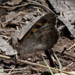 Geitoneura klugii (Marbled Xenica) at Namadgi National Park - 11 Dec 2017 by HarveyPerkins