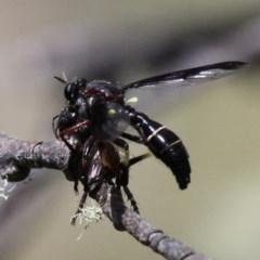 Daptolestes limbipennis (A wasp-mimicking robber fly) at Namadgi National Park - 11 Dec 2017 by HarveyPerkins