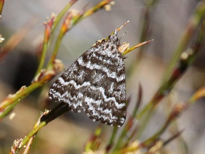 Dichromodes oriphoetes at Namadgi National Park - 11 Dec 2017