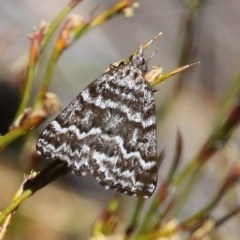 Dichromodes oriphoetes (Alpine heath moth) at Namadgi National Park - 11 Dec 2017 by HarveyPerkins