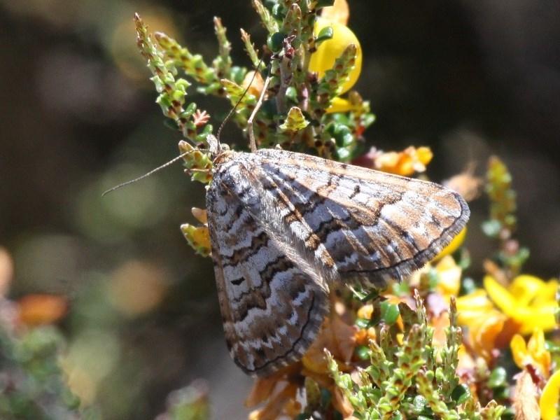 Chrysolarentia nephodes at Namadgi National Park - 11 Dec 2017