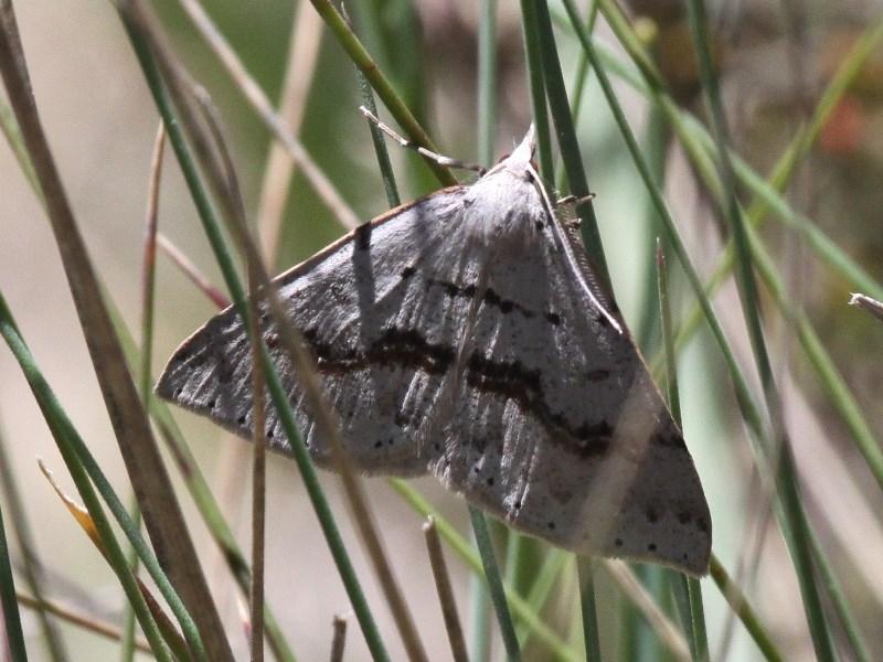 Nearcha curtaria at Namadgi National Park - 11 Dec 2017