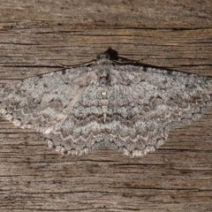 Psilosticha absorpta (Fine-waved Bark Moth) at Kambah, ACT - 8 Dec 2017 by HarveyPerkins