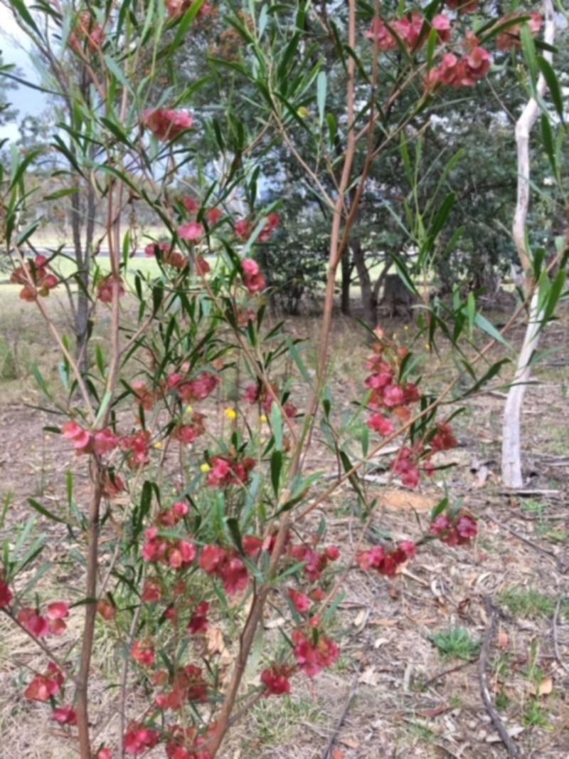 Dodonaea viscosa at Deakin, ACT - 12 Nov 2017
