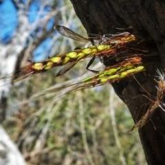 Isodontia sp. (genus) (Unidentified Grass-carrying wasp) at Wandiyali-Environa Conservation Area - 12 Dec 2017 by Wandiyali