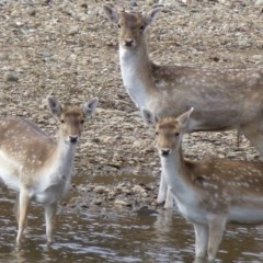 Dama dama (Fallow Deer) at Gigerline Nature Reserve - 14 Aug 2012 by Christine