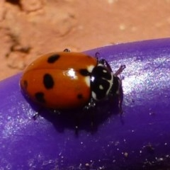Hippodamia variegata (Spotted Amber Ladybird) at Flynn, ACT - 4 Sep 2012 by Christine
