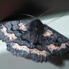 Melanodes anthracitaria (Black Geometrid) at Flynn, ACT - 15 Oct 2012 by Christine