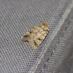 Thoracolopha verecunda (A Noctuid moth (group)) at Illilanga & Baroona - 9 Dec 2017 by Illilanga