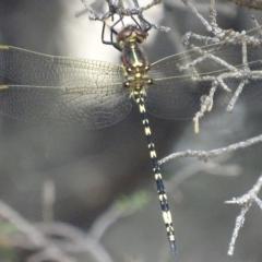 Synthemis eustalacta at Canberra Central, ACT - 14 Dec 2017