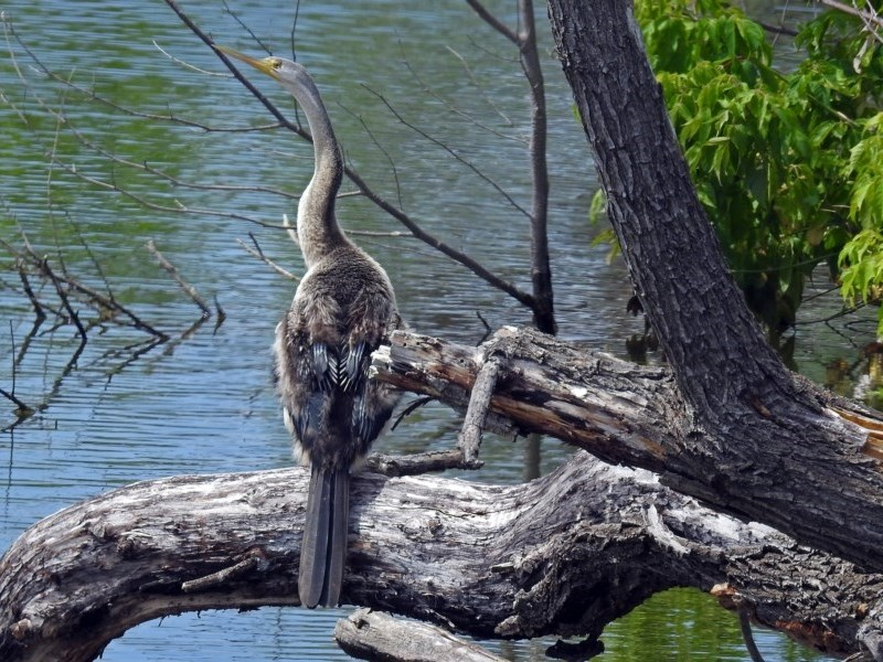 Anhinga novaehollandiae at Jerrabomberra Wetlands - 15 Dec 2017