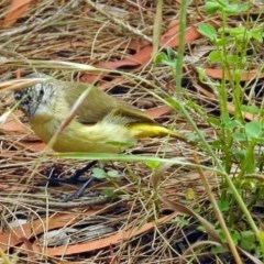 Acanthiza chrysorrhoa (Yellow-rumped Thornbill) at Jerrabomberra Wetlands - 14 Dec 2017 by RodDeb