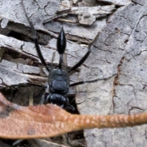 Evaniidae sp. (family) at Bimberi Nature Reserve - 15 Dec 2017