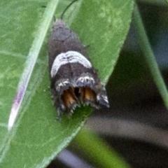Grapholita zapyrana (A tortrix moth) at Bimberi Nature Reserve - 15 Dec 2017 by JudithRoach